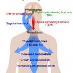 Hormone, Hormone… Die Schilddrüse – einfach zu behandeln?